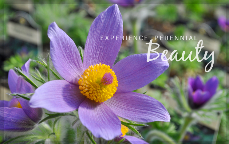 Experience Perennial Beauty